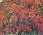 Luxuriant Red Maple