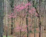 Flowering Redbud, Cherokee Forest
