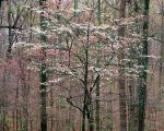 Pink and White Dogwoods