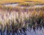 Marsh Grasses, Evening Light