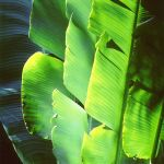 Sunlit Traveler Palm Leaves