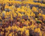 Golden Aspen and Red Oak Mountainside