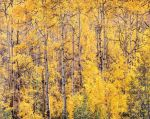 Golden Aspen and Afternoon Sunlight