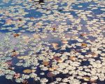 Waterlilies, Raindrops and Light