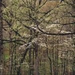 Deep Forest & White Dogwoods