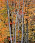 Allegheny Autumn Forest