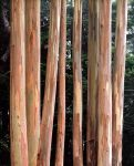 Coastal Eucalyptus Trunks