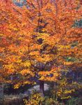 Illumined Sugar Maple