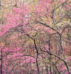 Redbud and Dogwoods