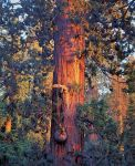 Old Sequoia at Sunset