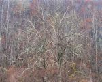 Black Walnut Trees and Rain