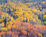 Chromatic Aspen & Spruce Mt.Side