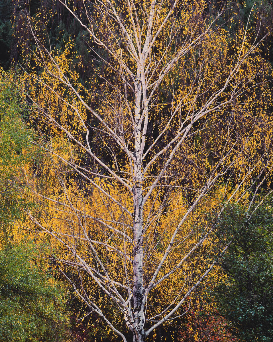 Ascending Autumn Birch
