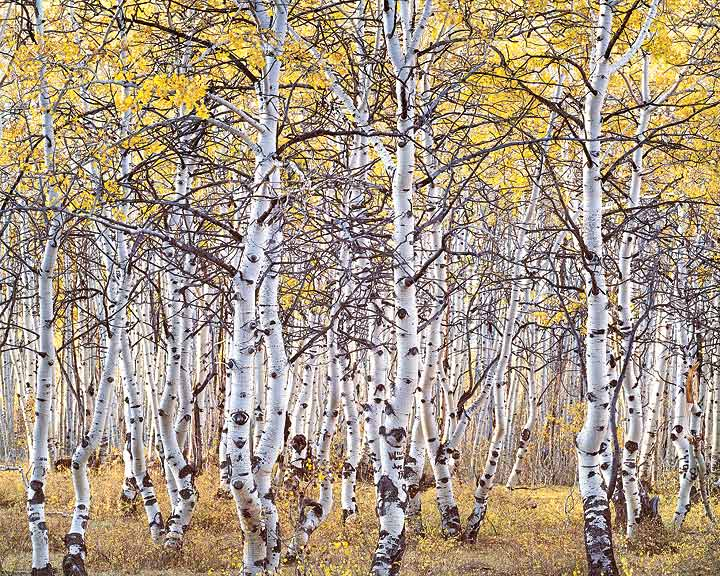 Black Mountain Aspen Forest
