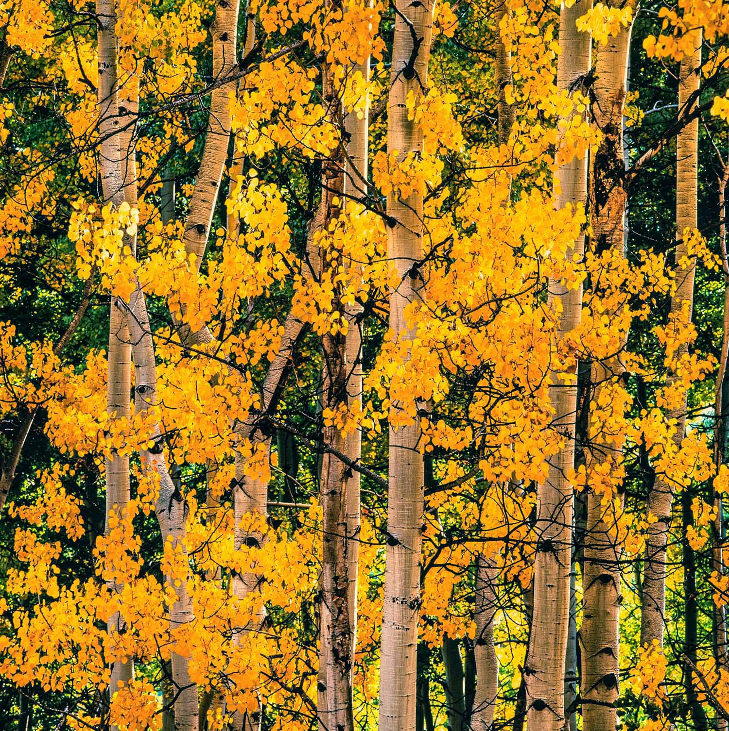 Cheerful Aspens
