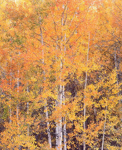 Crystal River Aspens