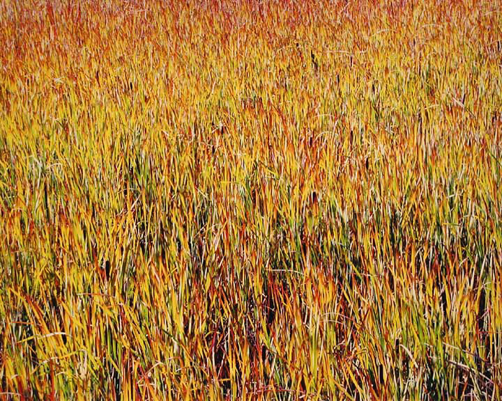 Flaming Cattail Field