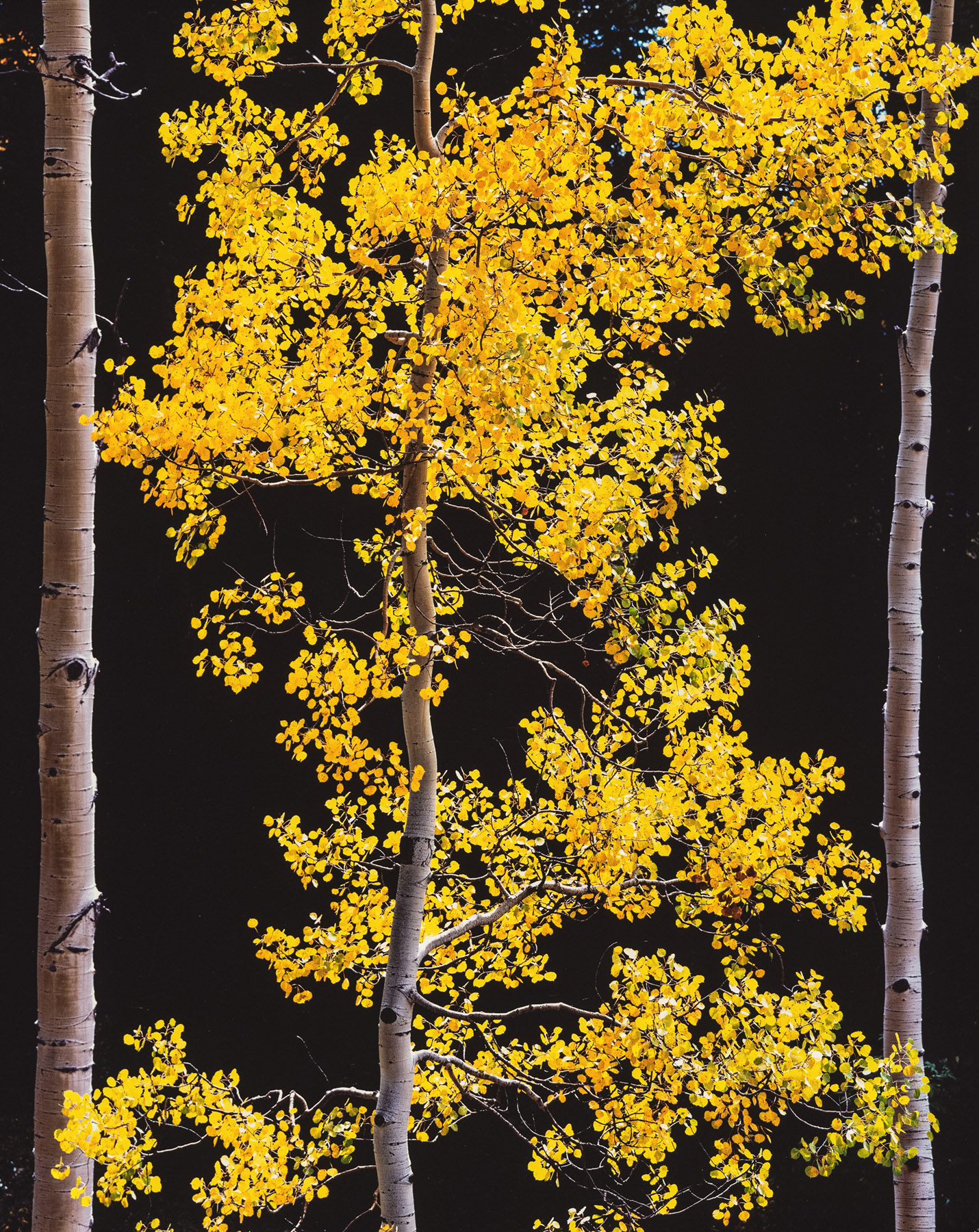 Graceful Aspen