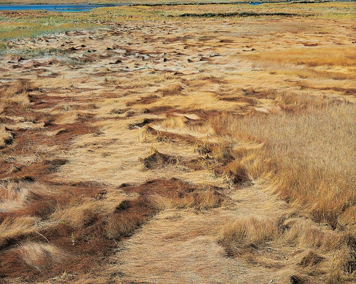 Golden Marsh Grasses