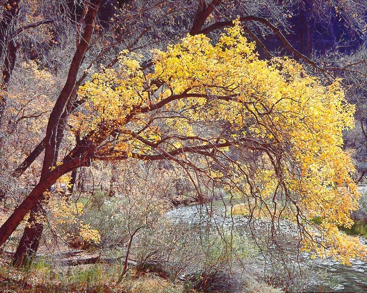 Golden River Cottonwood