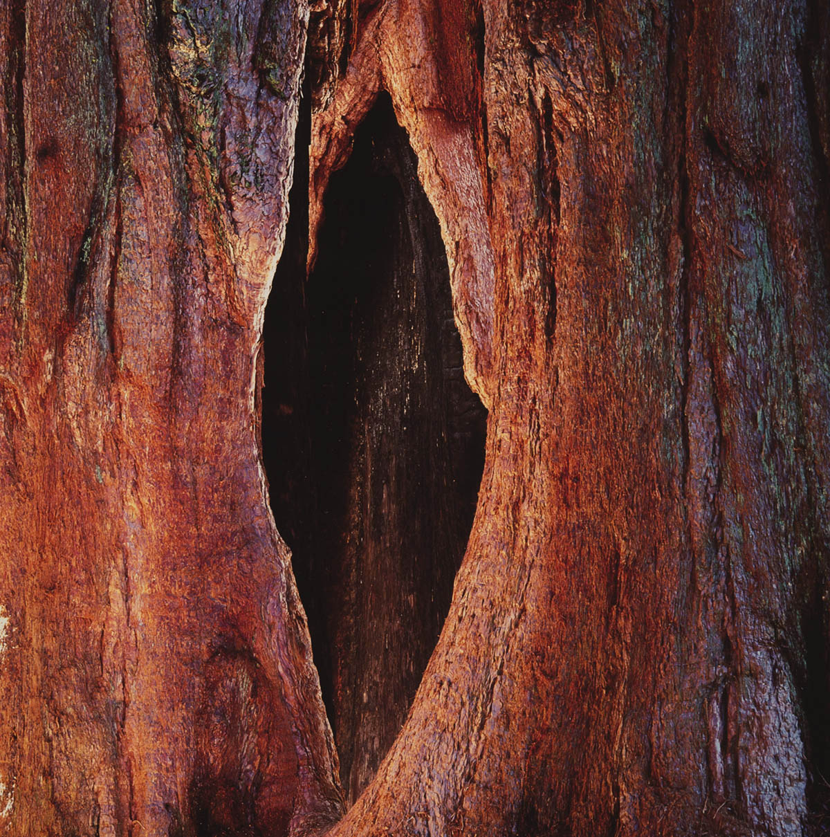 Glowing Sequoia Trunks