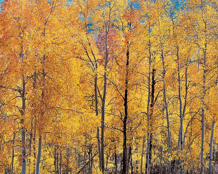 Orange Aspens and Sunlight