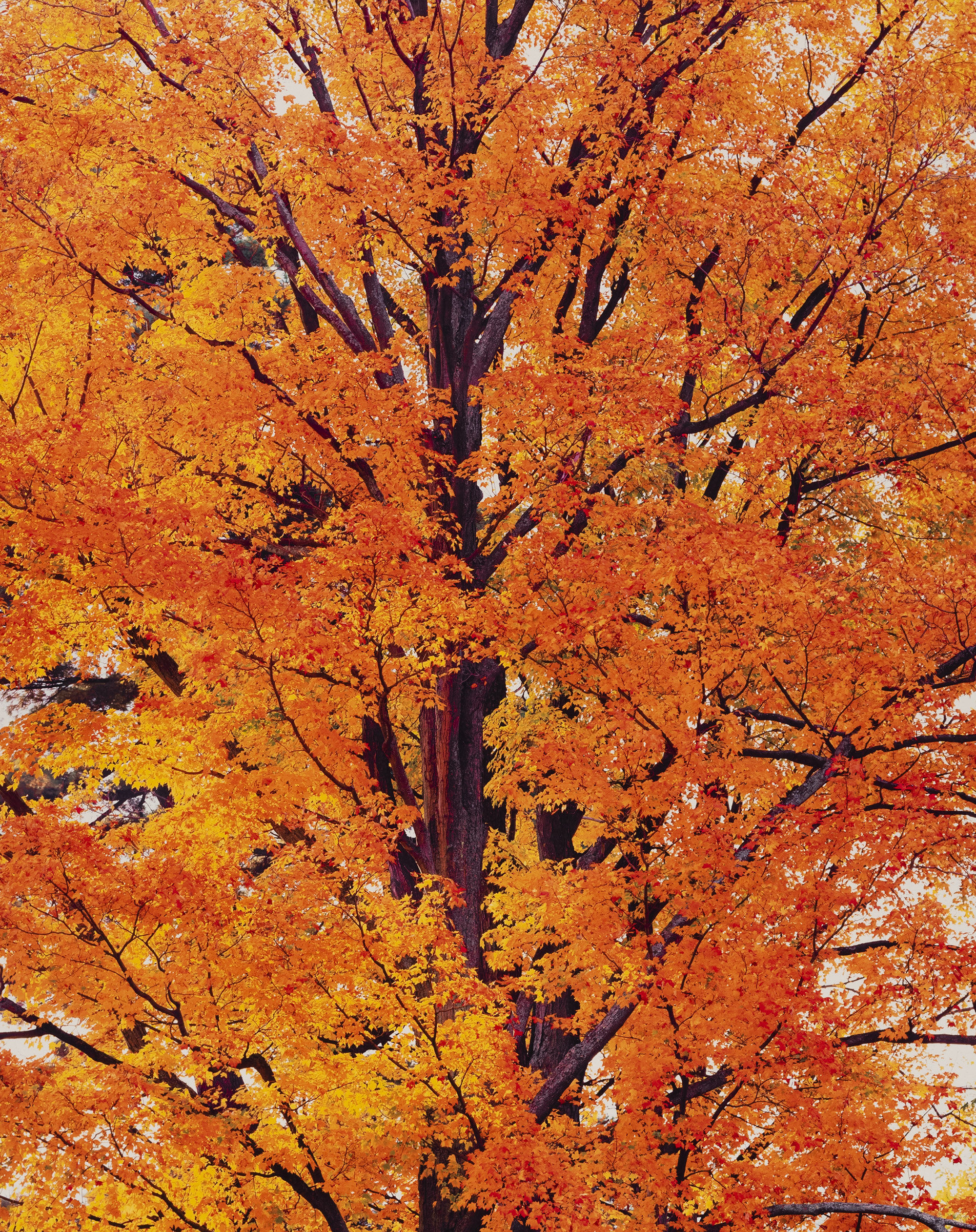 Orange Maple at Sunrise