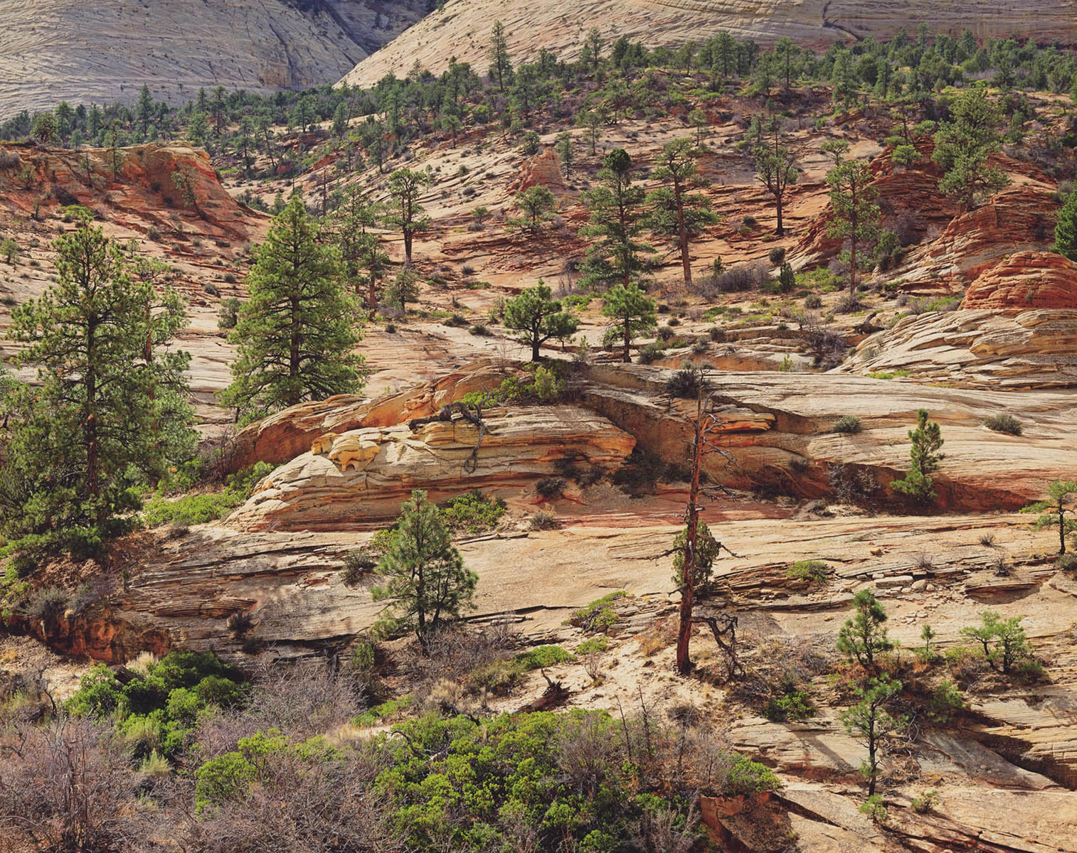 Pine Forest, Sandstone and Light