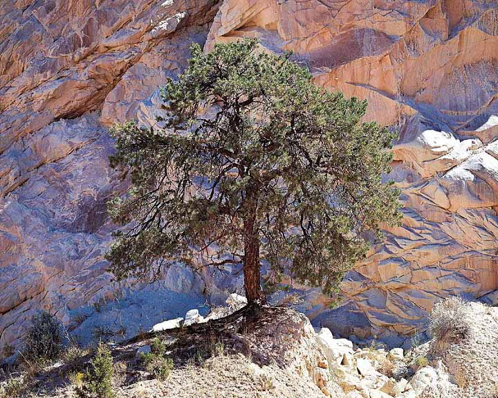 Pinyon Pine and Desert Wall
