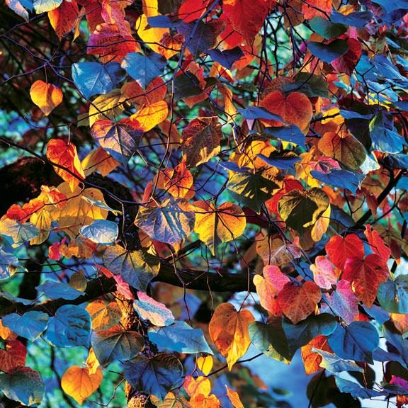 resplendent leaves at sunset