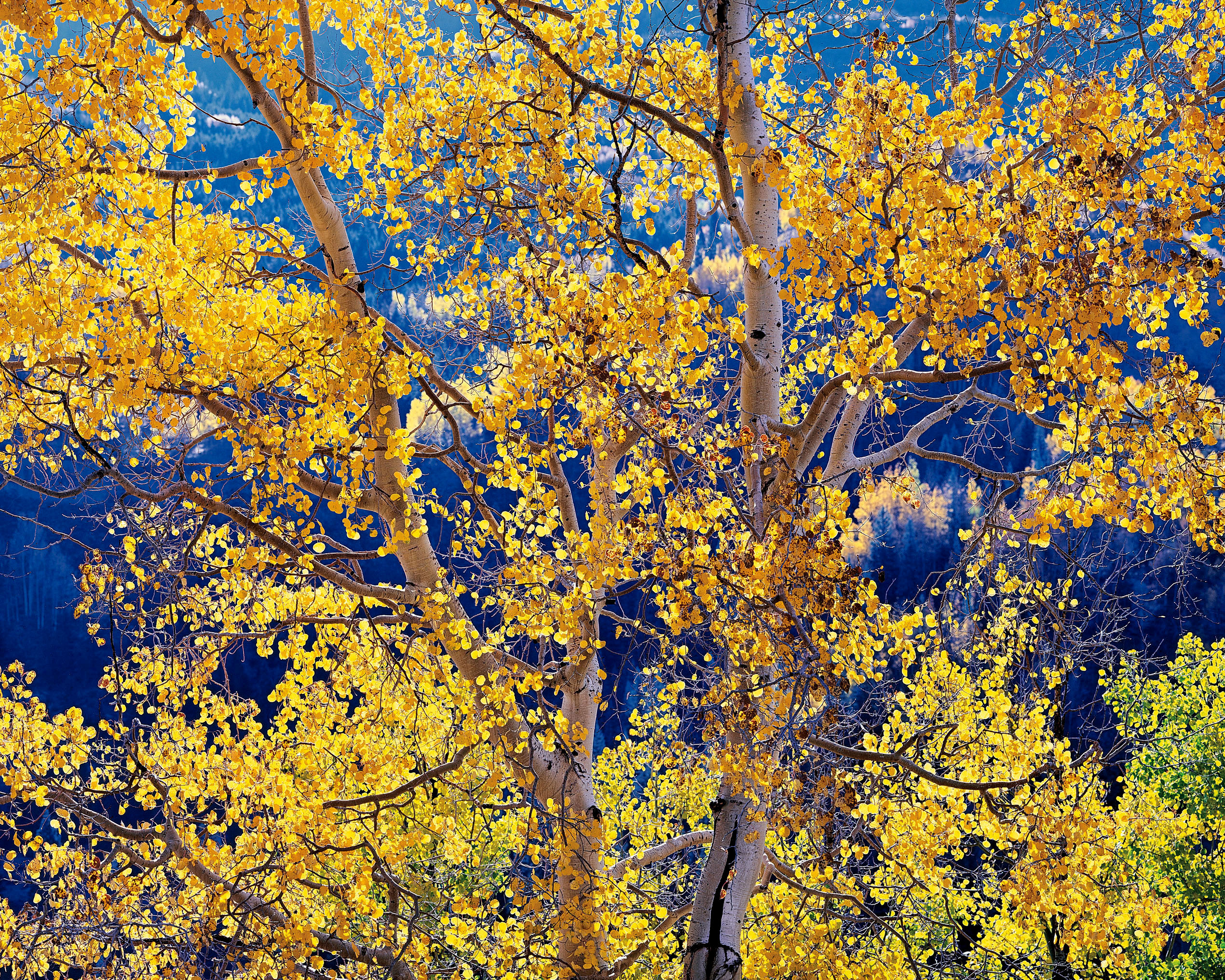 Radiant Mountain Aspen