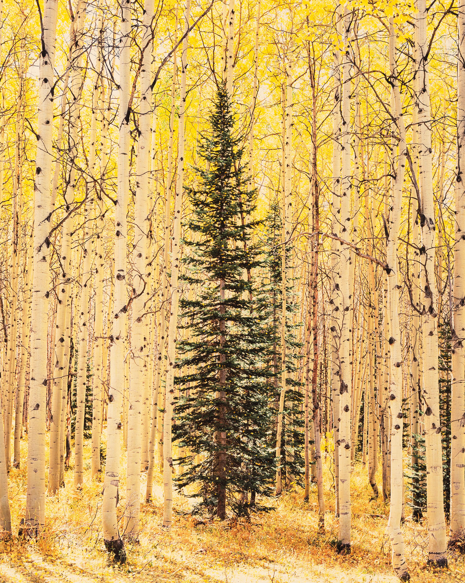 Spruce and Bright Aspen Forest
