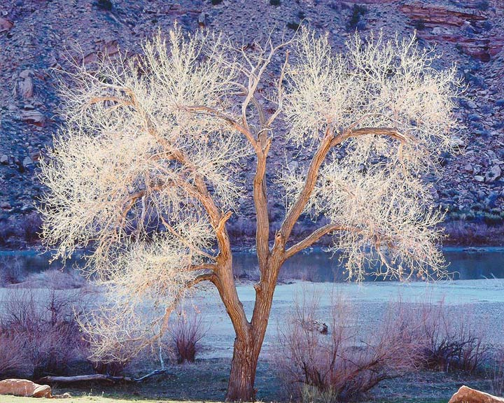 Sunlight, Cottonwood and Colorado River