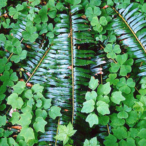 Sword Fern and Oxalis