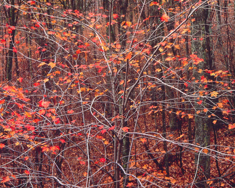 Syncopated Red Maple