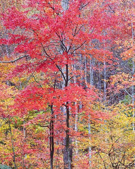 Vivid Red Maple
