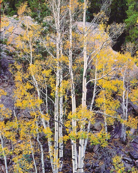 White Aspens and Rock Wall