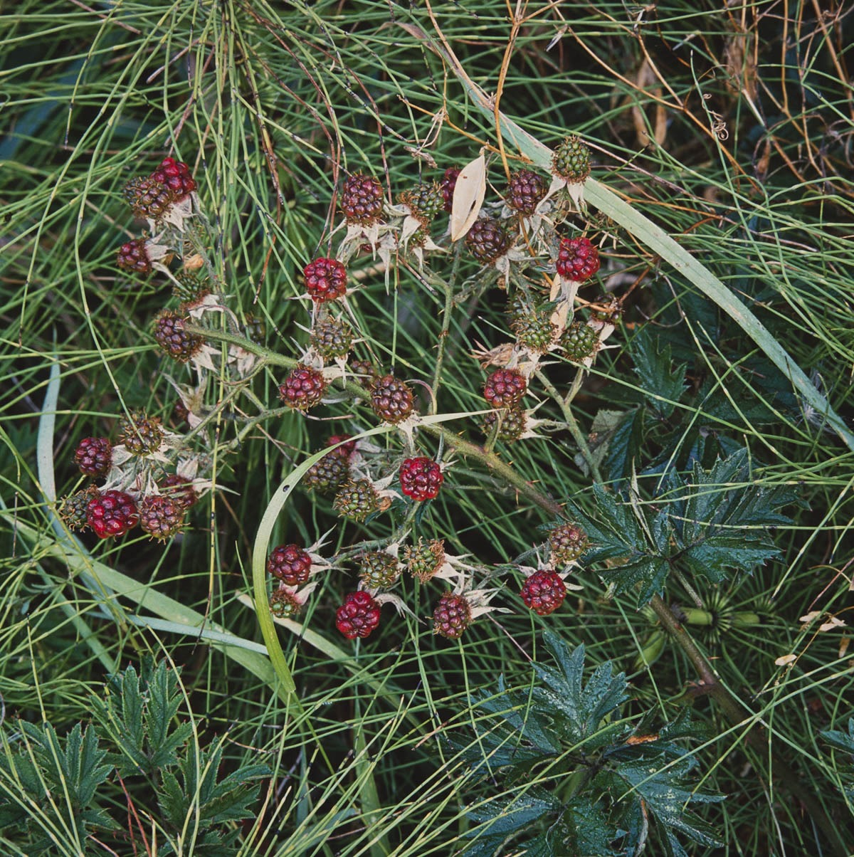 Wild Blackberries and Grass