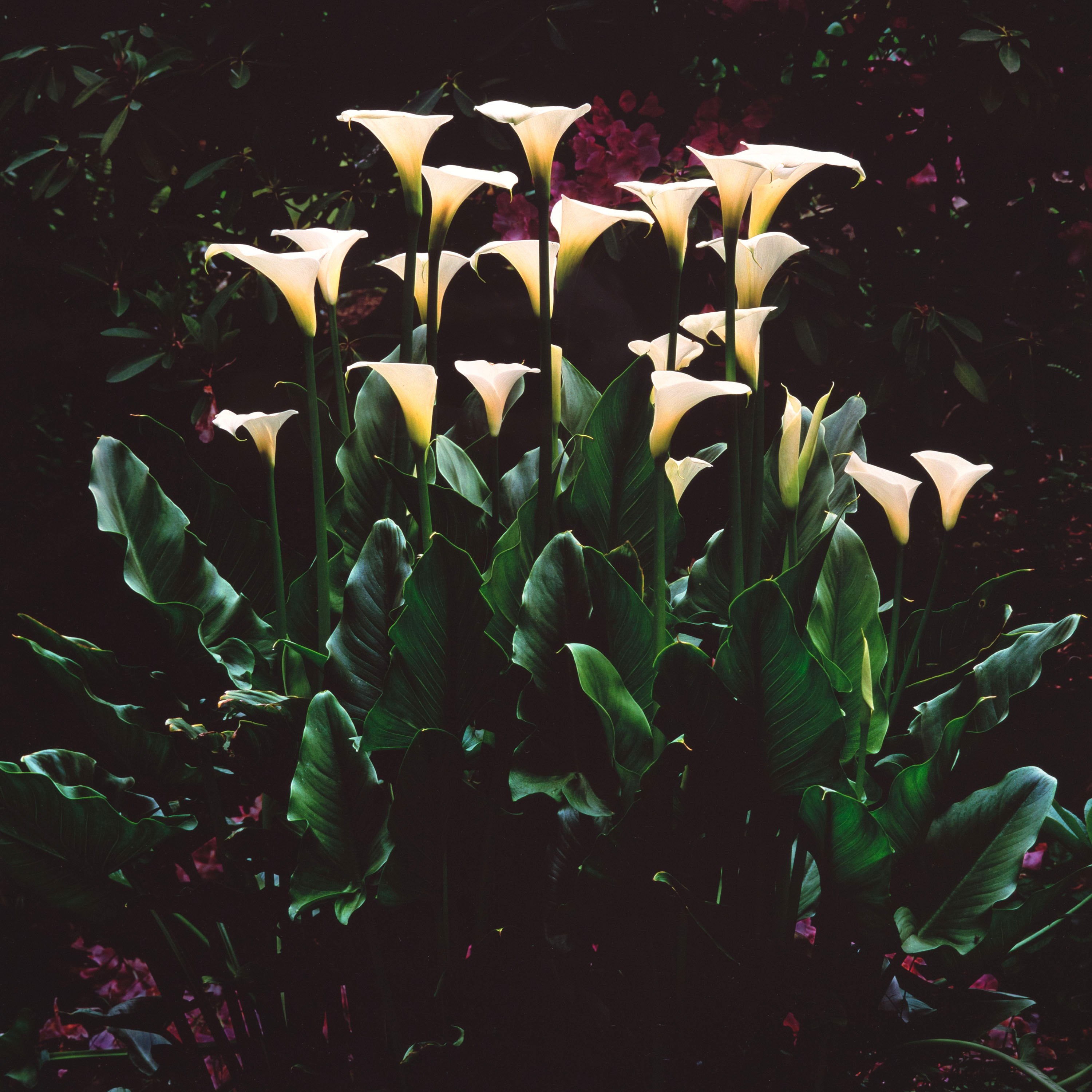White Callas at Dawn