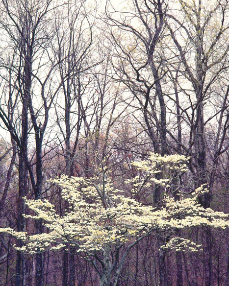 White Dogwood and Winter Woods