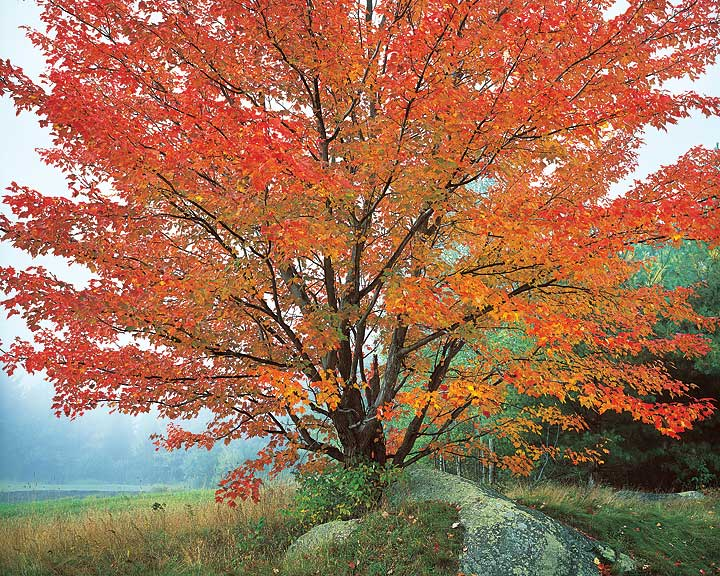 Wild Red Maple and Fog