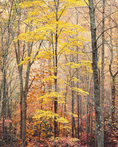 Yellow Maple, Forest and Light