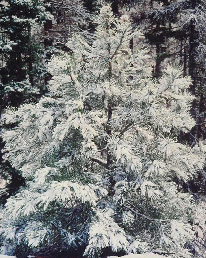 Young Pine and Snow